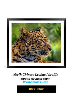 14 North Chinese Leopard profile.jpg
