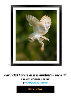 03 Barn Owl hovers as it is hunting in t