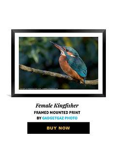 30 Female Kingfisher.jpg