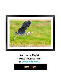 02 Heron in Flight.jpg
