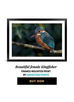 31 Beautiful female Kingfisher.jpg