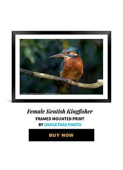 32 Female Kentish Kingfisher.jpg