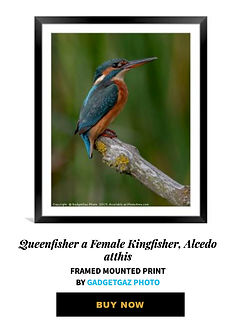 29 Queenfisher a Female Kingfisher, Alce