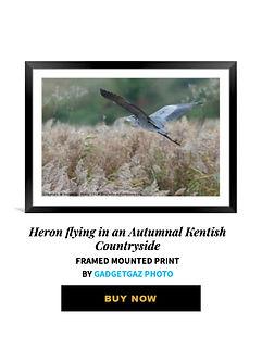 28 Heron flying in an Autumnal Kentish C