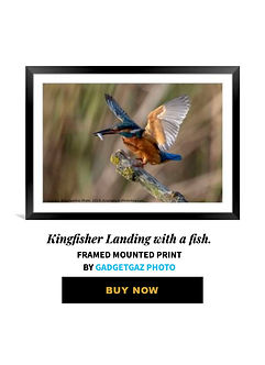 27 Kingfisher Landing with a fish.jpg