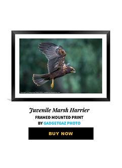 34 Juvenile Marsh Harrier.jpg