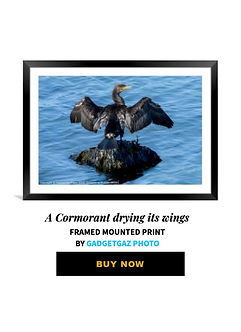 44 A Cormorant drying its wings.jpg