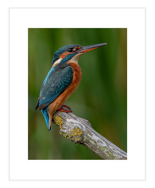 Female Kigfisher Print 12x16in