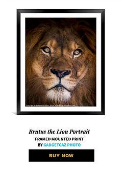 18 Brutus the Lion Portrait.jpg