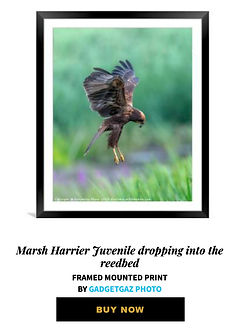 25 Marsh Harrier Juvenile dropping into