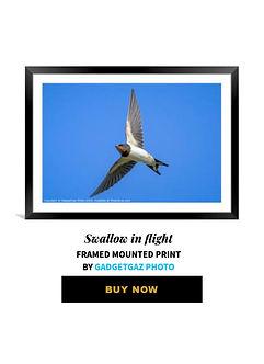 33 Swallow in flight.jpg