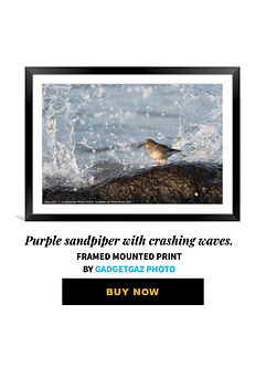 40 Purple sandpiper with crashing waves.