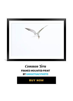 41 Common Tern.jpg