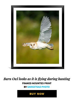 06 Barn Owl looks as it is flying during