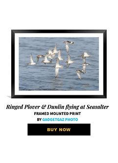 72 Ringed Plover Dunlin.jpg