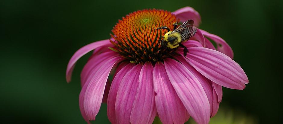 Talking Herbs ... Echinacea