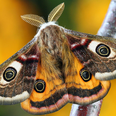 What Moths Live in the East Bay Hills? On 'Moth Night', a Chance to Find Out, Bay Nature Magazine