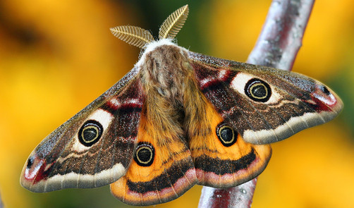 What Moths Live in the East Bay Hills? On 'Moth Night', a Chance to Find Out