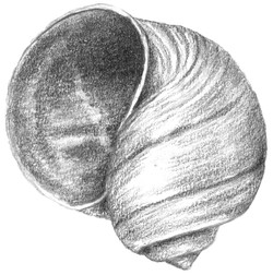 Janis_Moon Snail Shell Ventral view