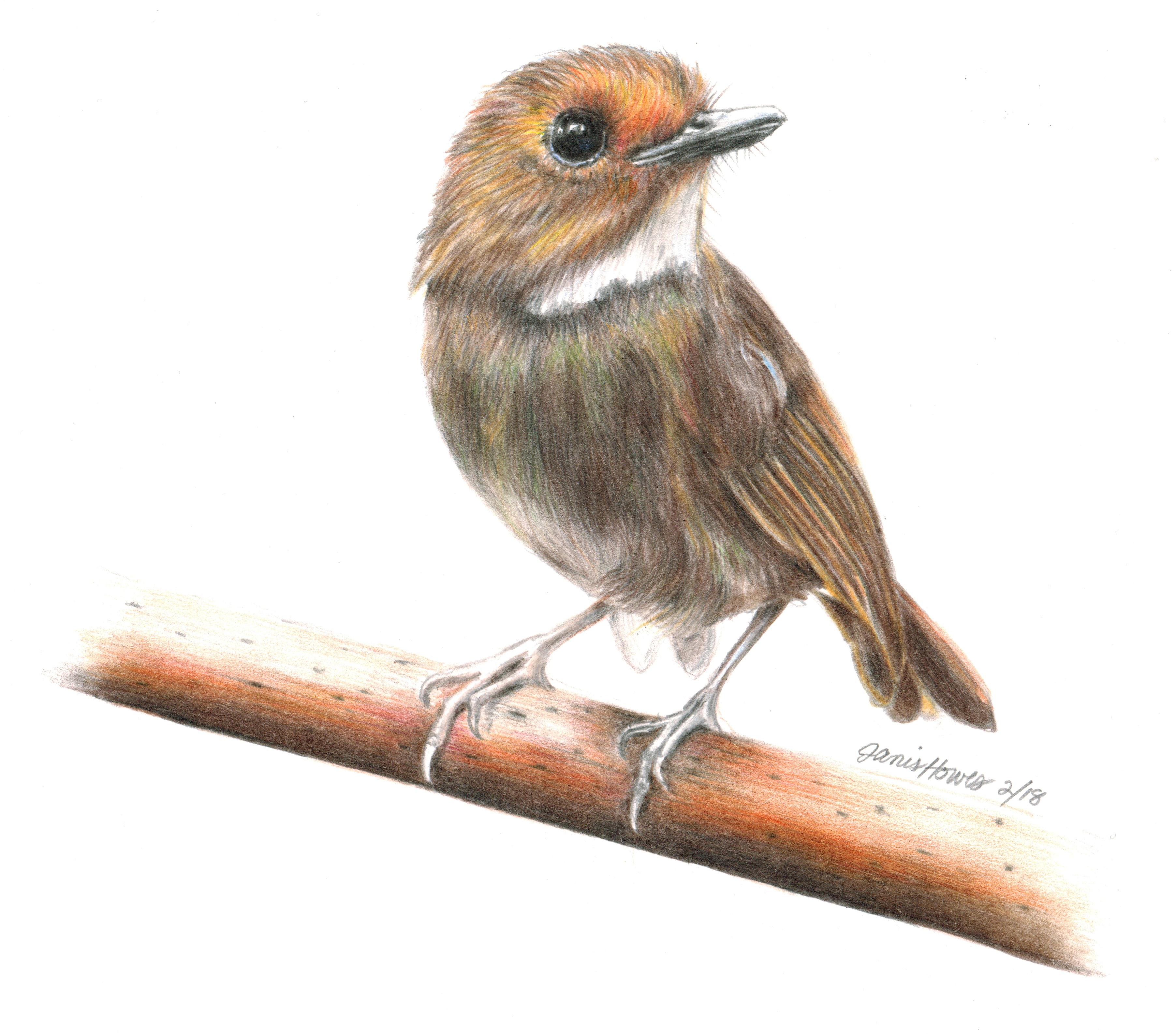 Rufus-browed Flycatcher