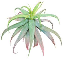 Cape Speckled Aloe