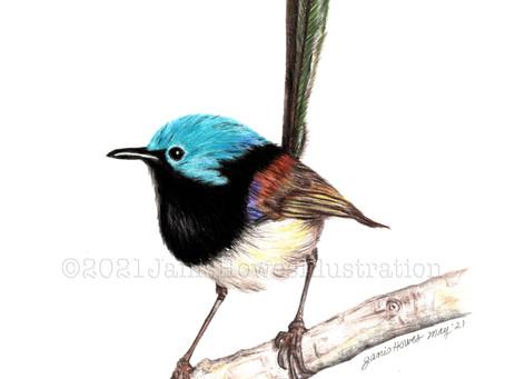 Latest Bird Drawing - A Ferry Wren!