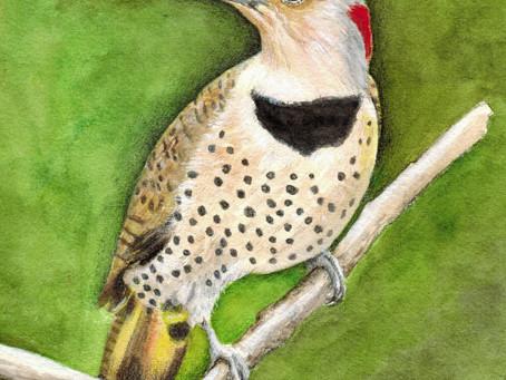 Northern Flicker, one of my favorite birds
