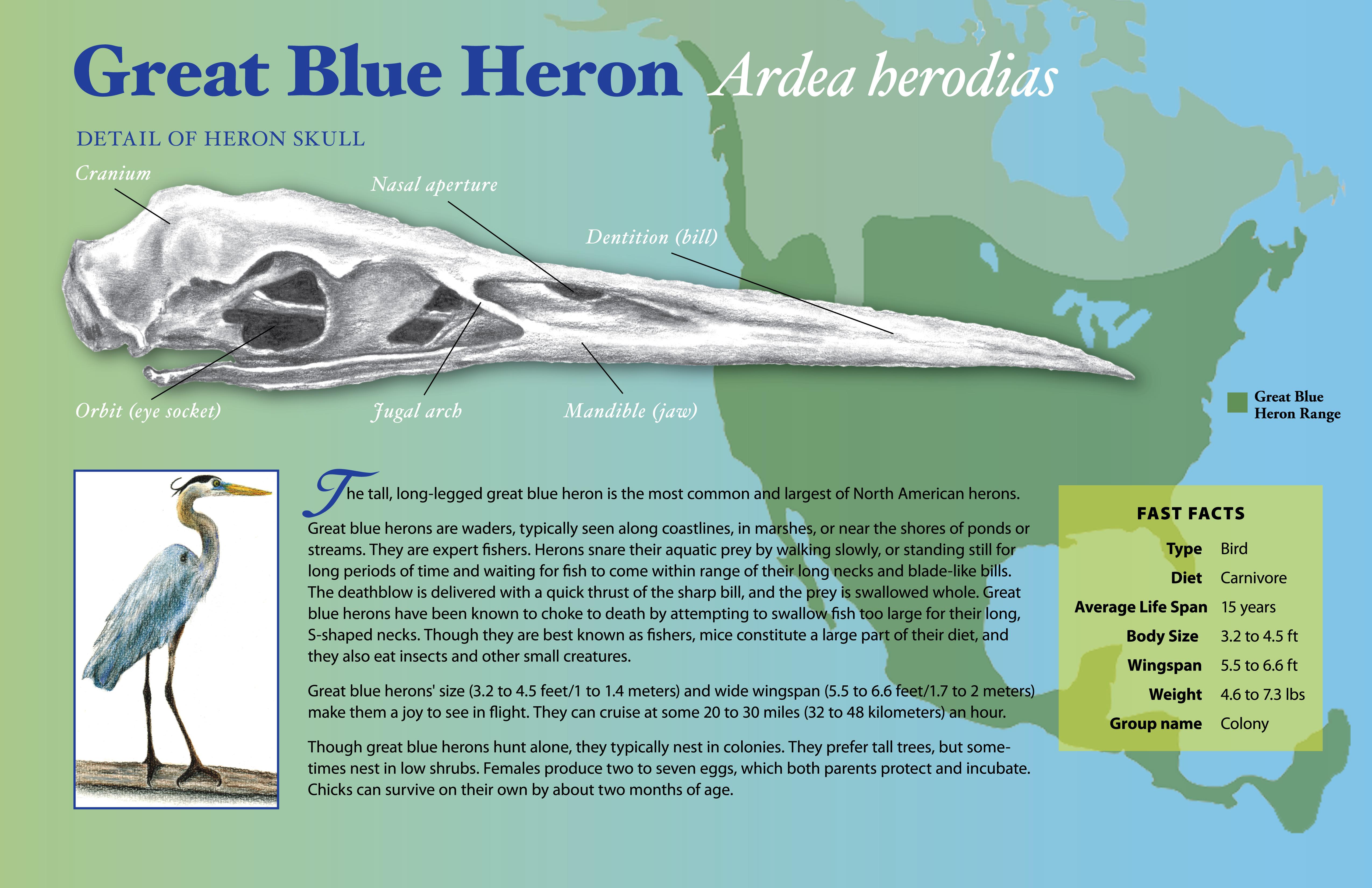 Heron Poster 11x17-01
