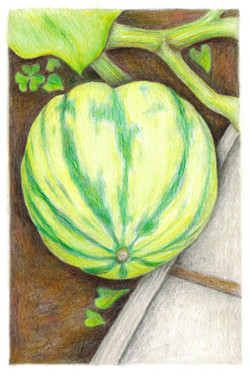 Young Carnival Squash