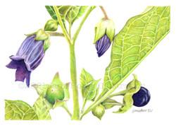 Deadly Nightshade, Atropa belladonna