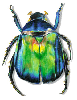 Beetle Color Illustration trans bkgrnd