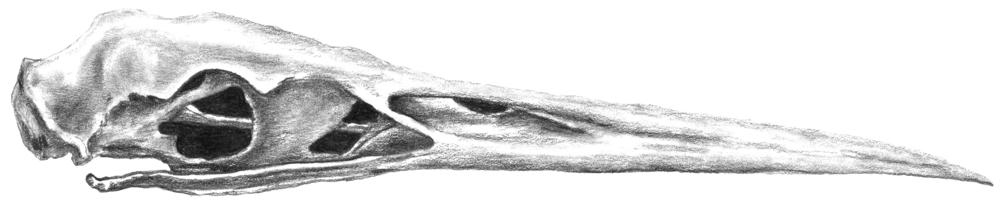 Great Blue Heron Skull