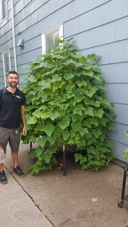 Cucumber plant grown with OceanSolution 2-0-3