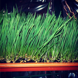 Wheatgrass grown with OceanSolution 2-0-3