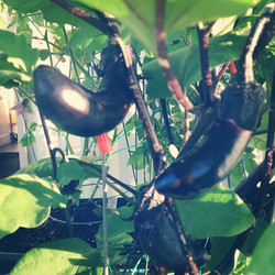 Eggplant grown with OceanSolution 2-0-3