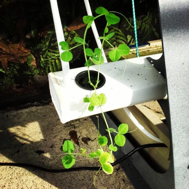#hydroponics snap peas #oceangrown #oceansolution #organic #growyourown #gardenlove #gardening #vege