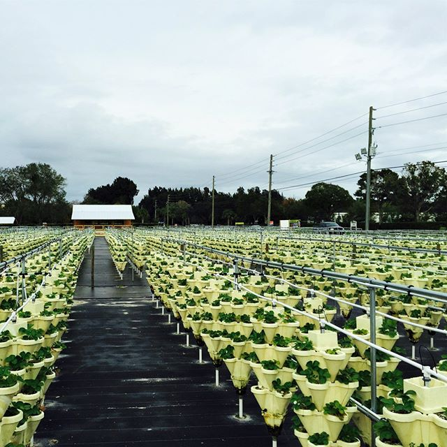 #hydroponics with #oceansolution at Avalon u pick farm in Melbourne Florida!