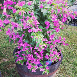 Bougainvilleas grown with OceanSolution