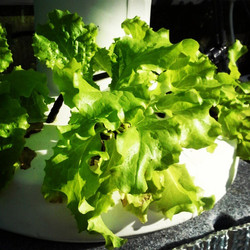 Happy monday! Here is some of our hydroponic lettuce #oceangrown #oceansolution #organic #growyourow