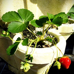 #hydroponic strawberries grown with #oceansolution #faster #stronger #results #healthy #growyourown