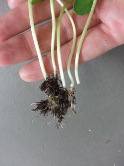 Roots on sunflower microgreens