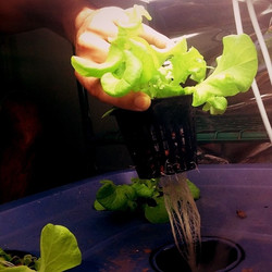 Root game strong! #OceanSolutioin #hydroponics #growyourown #plant #nutrients #minerals #sustainable
