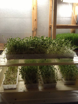 Micro greens grown with OS 2-0-3