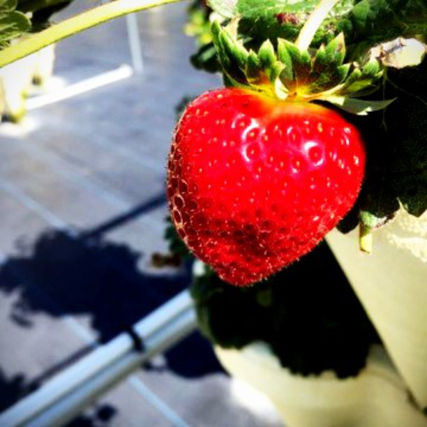 strawberries grown with OceanSolution 2-0-3
