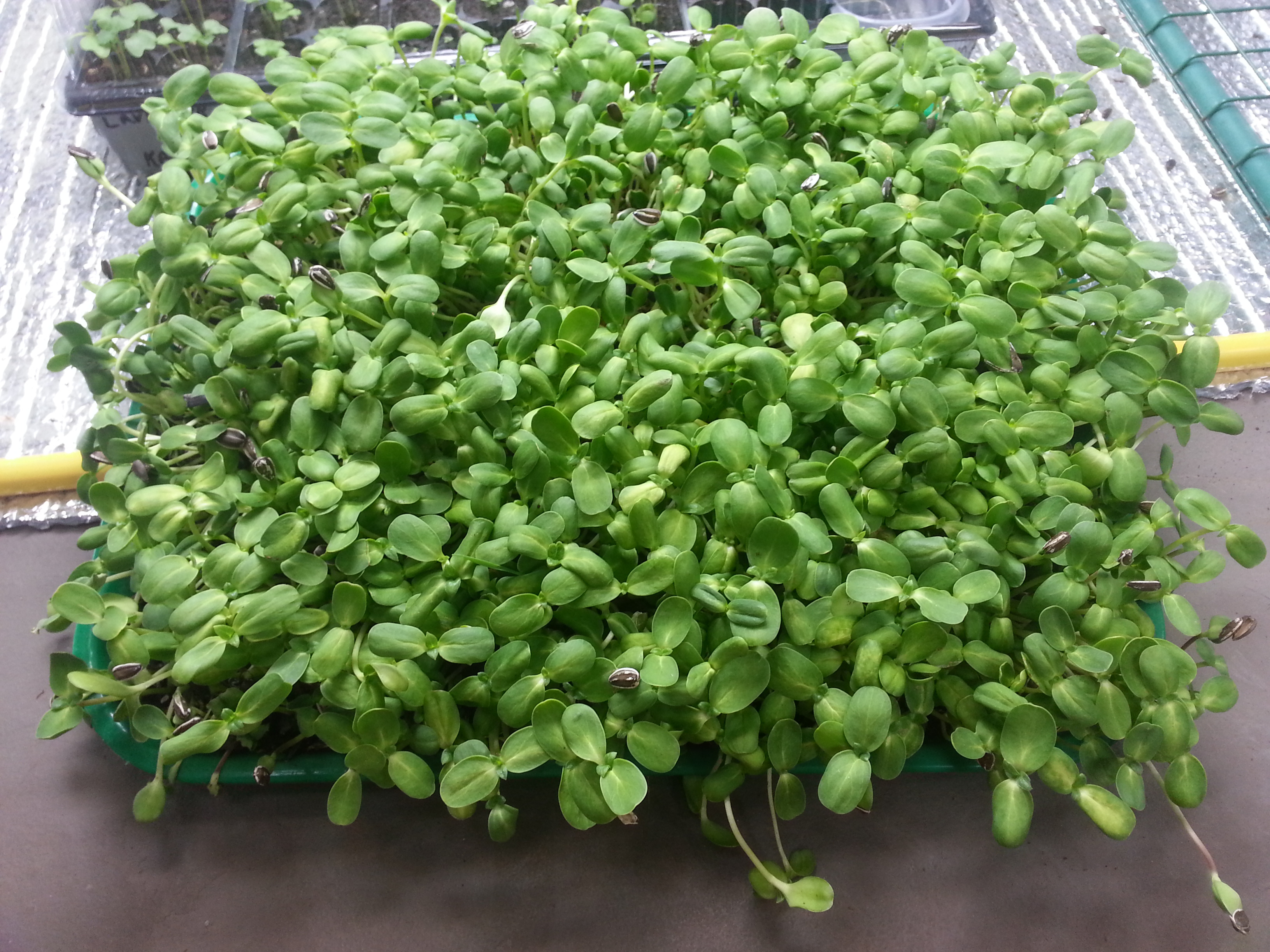 microgreens grown with OceanSolution 2-0-3