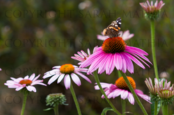 Butterfly Pink Cone Flower