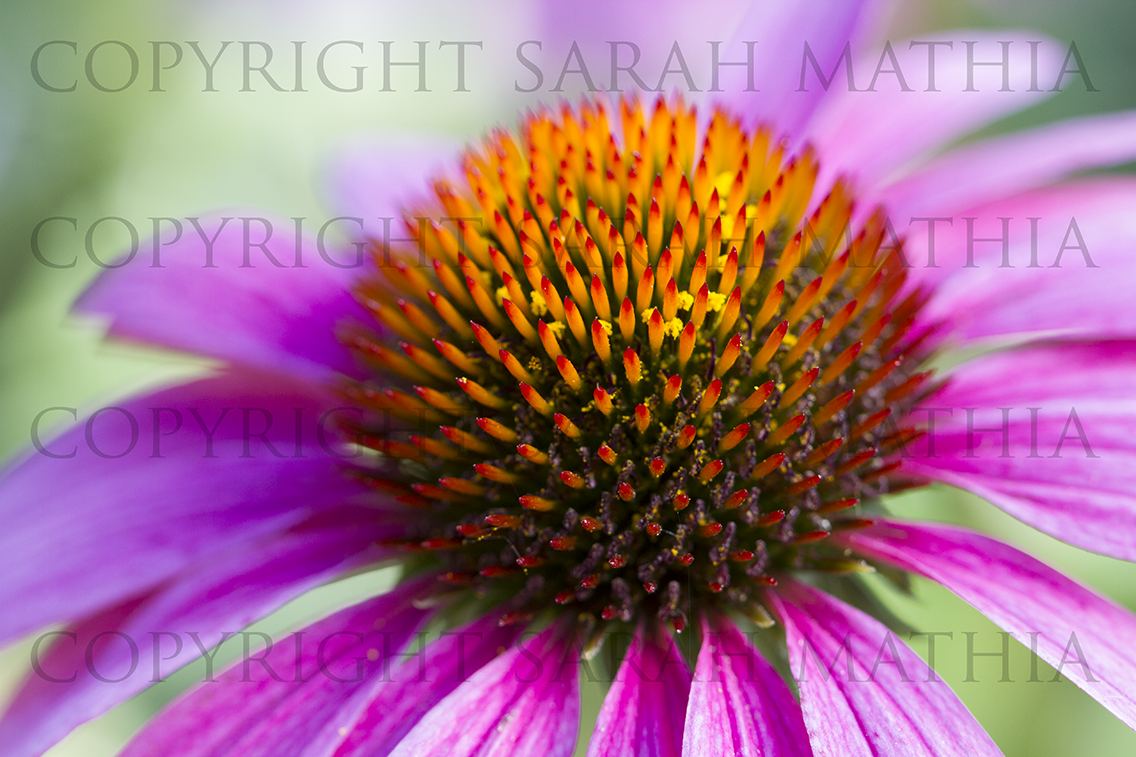 Pink Cone Flower Angled Web
