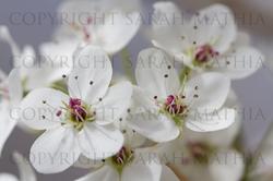 Pear Blossoms Web