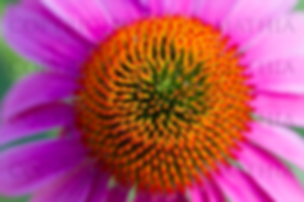 Pink Cone Flower Center.png