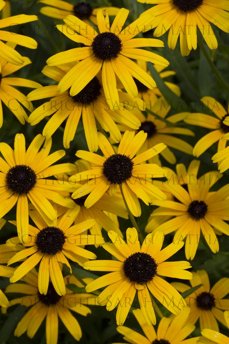 Yellow Cone Flowers Web